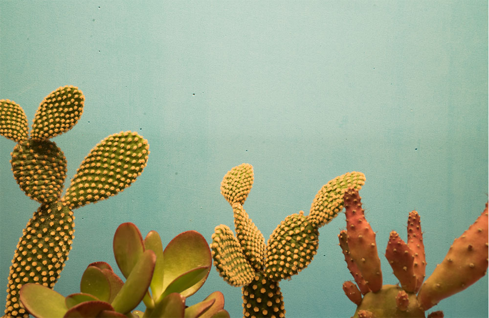 why is my cactus turning purple? [5 reasons explained]