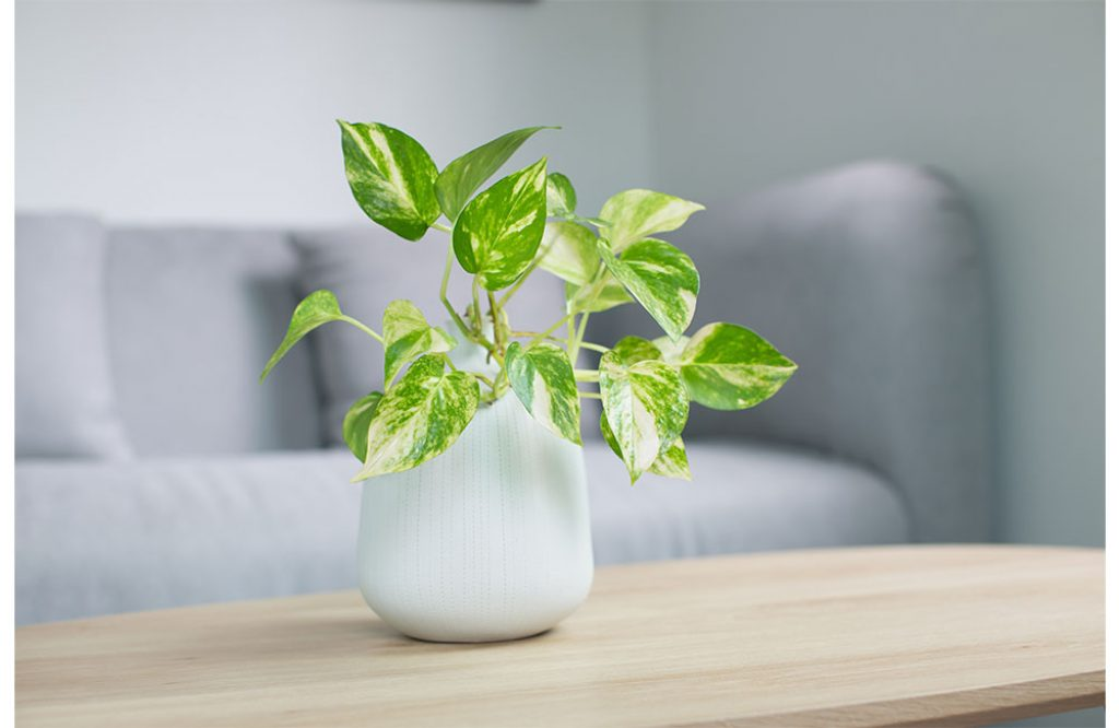 snow queen pothos