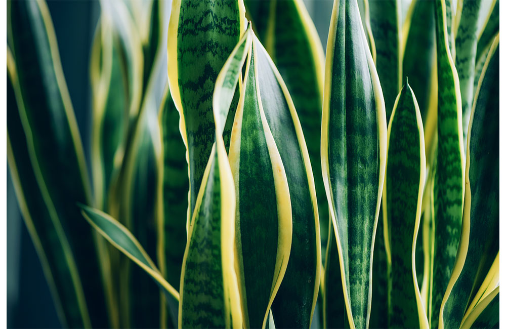 how much water do snake plants need? [proper watering guide]